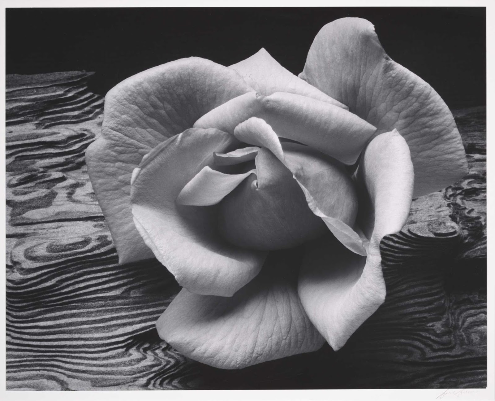 1932. Rose & Driftwood. Ansel Adams