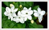Klasifikasi & Nama Latin Bunga Melati