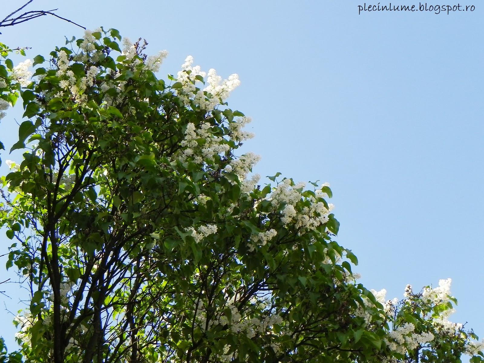 Liliac alb la Racos