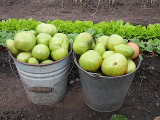 24 августа, собрано 2 ведра помидоров