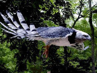 Harpy Eagle picture