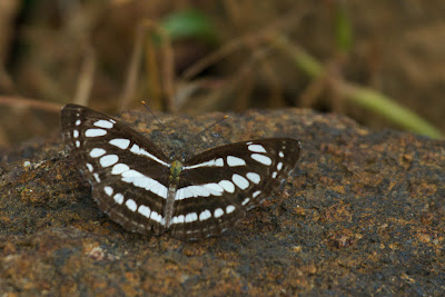A Photograph of the Common Sailor Butterfly (Neptis hylas) taken in Kandy, Sri Lanka
