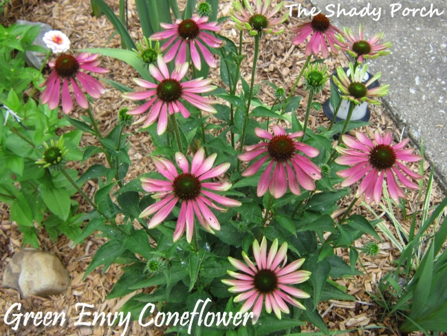 Green Envy Coneflower from The Shady Porch #coneflower