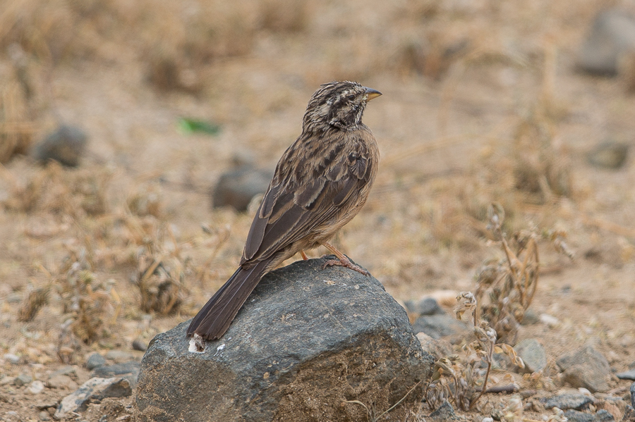 Cinamon-breasted Bunting