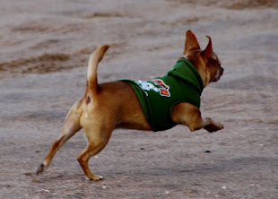 "Superchew wearing his hoodie and chasing after the big dogs. His hoodie says ""Ruff-N-Tuff!"""
