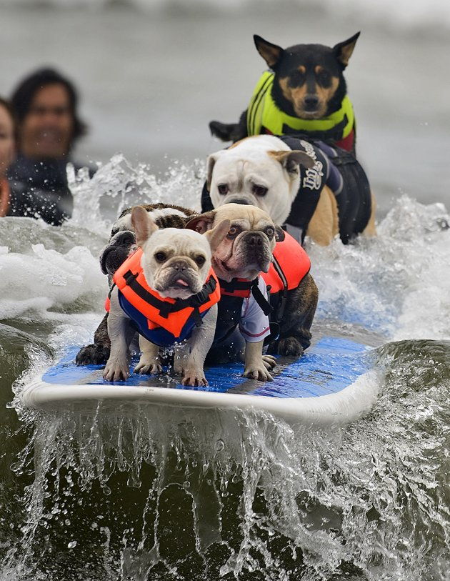Dogs On Surfboard