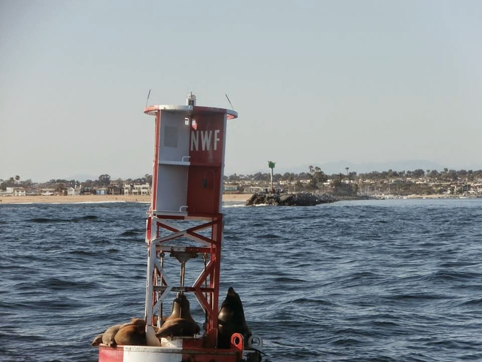 Seals in Balboa Harbor - Newport Beach, CA