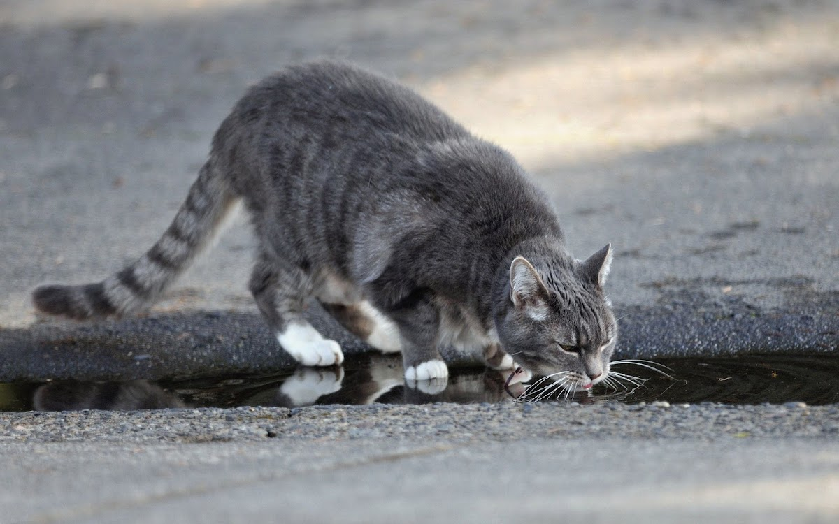Cat Drinking Water Widescreen HD Wallpaper