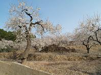Feixes de Can Pubill amb els arbres ben florits