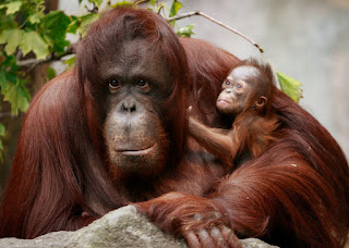 orangutan and her baby