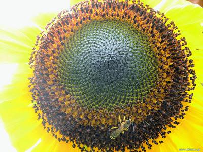 Φυτά που προσελκύουν ωφέλημα έντομα