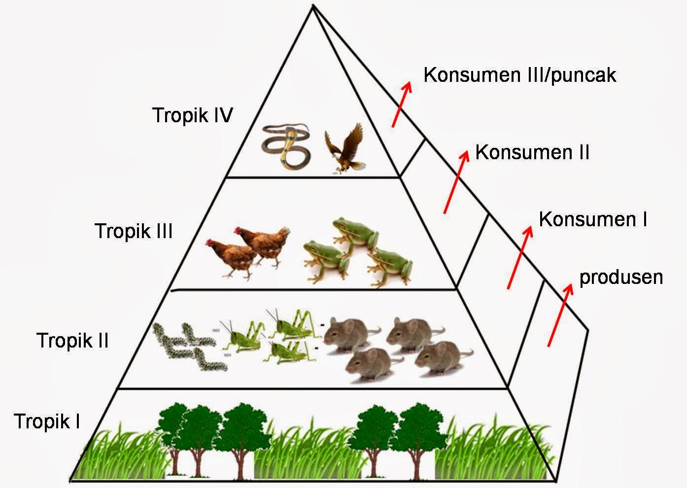 rantai makanan artikel penunjang pengertian piramida makanan dan ...
