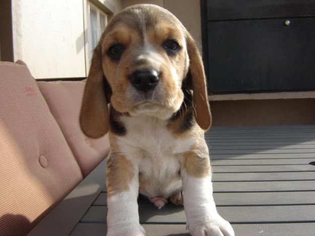 Puppy Bowl 2011: Beagle Puppies