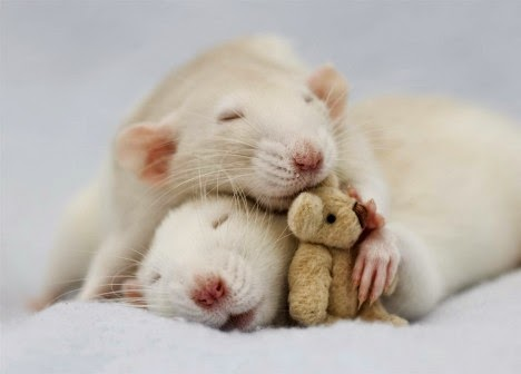 Every Day Is Special April 4 World Rat Day