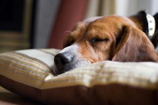 cachorros na cama de humanos