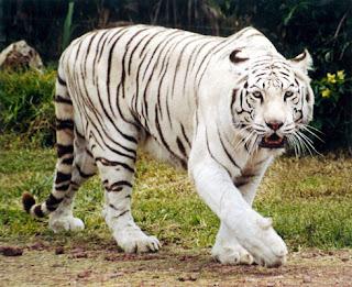 Tigre de Siberia - Panthera tigris altaica