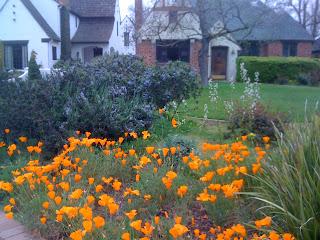 Eschscholzia californica in McKinley Park