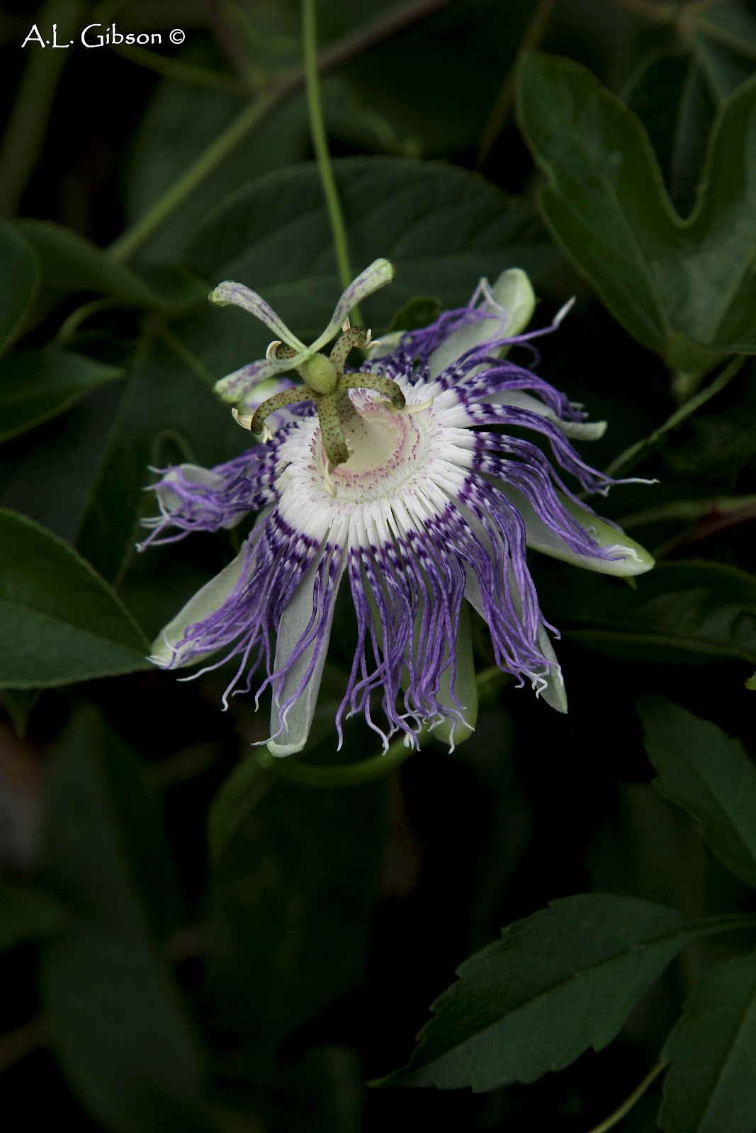 The Buckeye Botanist Purple Passionflower Passiflora Incarnata