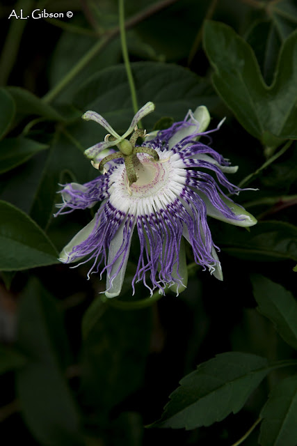 the buckeye botanist purple passionflower passiflora incarnata. Black Bedroom Furniture Sets. Home Design Ideas