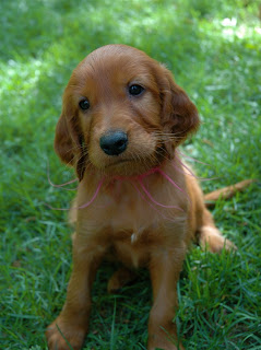 Irish Setter Puppy Picture