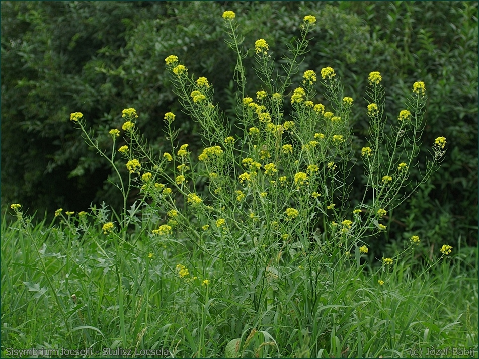 Sisymbrium loeselii - Stulisz Loesela pokrój