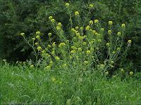 Sisymbrium loeselii - Stulisz Loesela