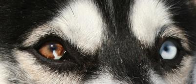 Alla ricerca del siberian husky colore degli occhi dell 39 husky - Colore degli occhi diversi ...