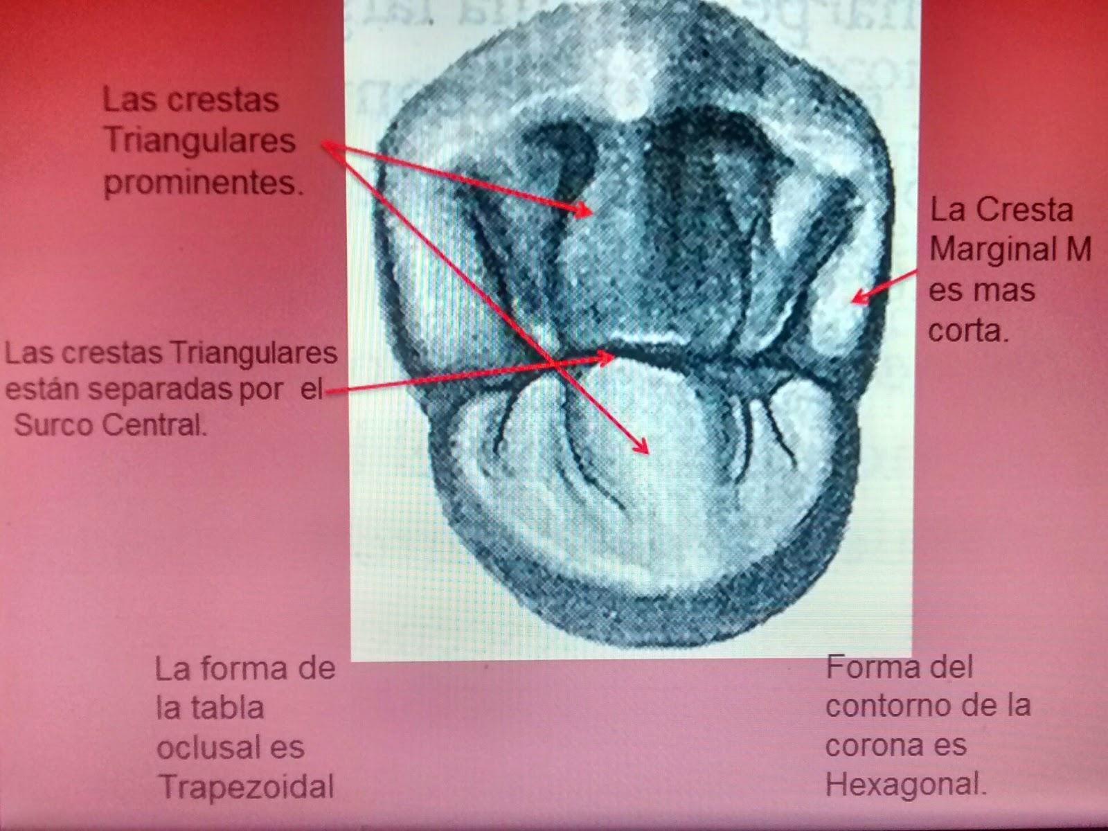 Apuntes de Odontología: conocimientos básicos para nuestra formación