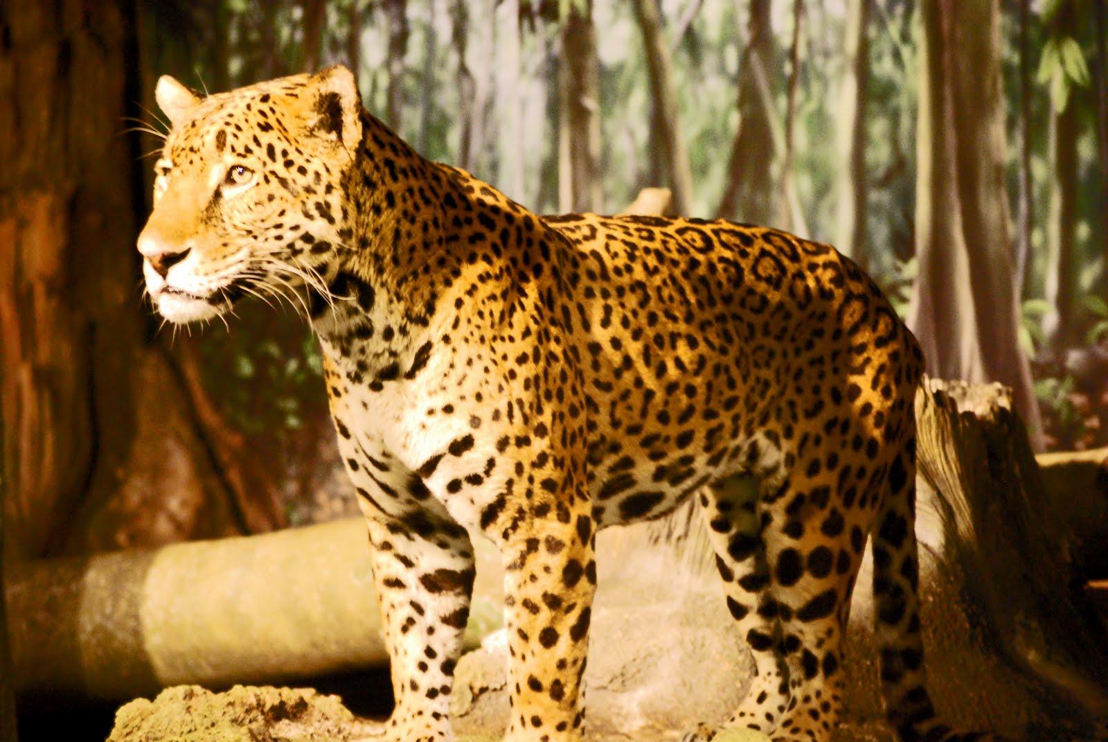 jaguar standing - photo #22
