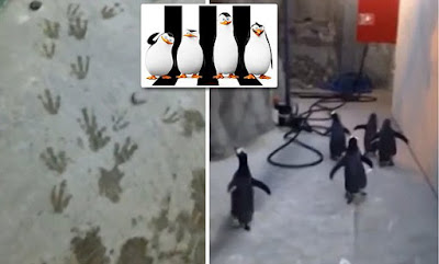 Real-life penguins of Madagascar caught on cam!