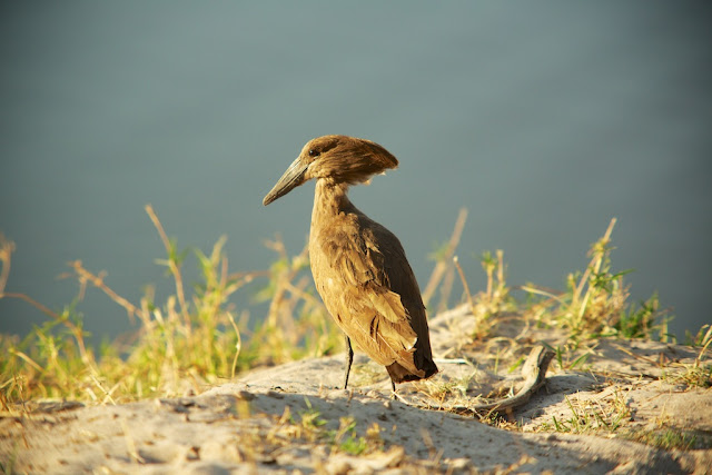 Hamerkop, Chobe National Park, Botswana - Kim Jay Photography