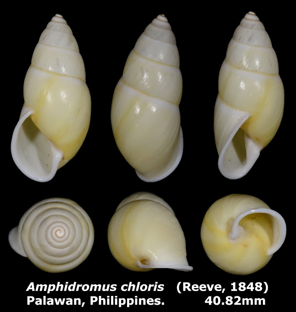 Amphidromus chloris 40.82mm