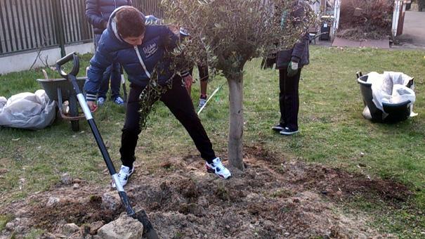 Le jardin des g teaux serge mora on a plant l 39 olivier de serge - Planter un olivier en pleine terre ...