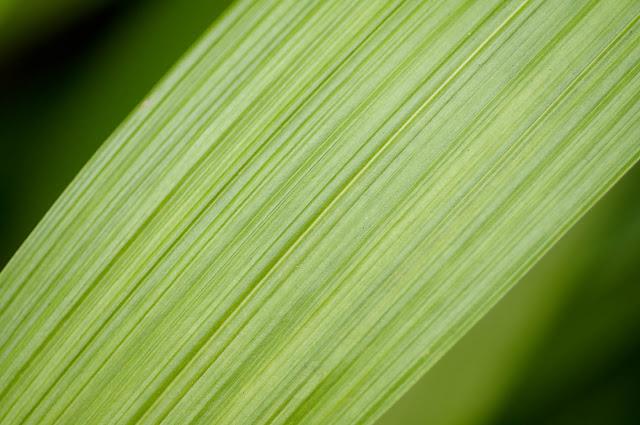 Leaf | Nikon D300 & Micro Nikkor 60mm AFD