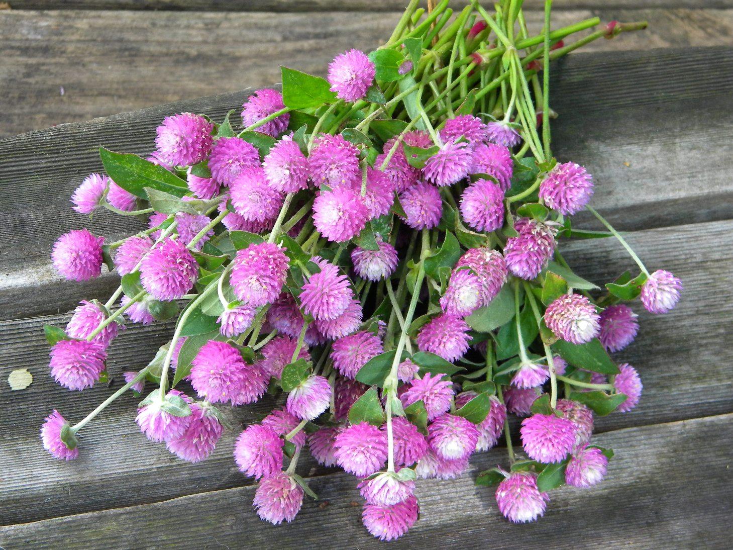 Wedding Flowers from Springwell: Gomphrena for Summer Weddings