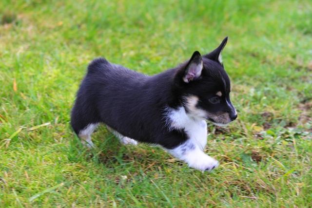 cowboy corgis  available puppies