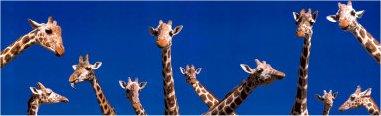http://2.bp.blogspot.com/-bdfp5f6K090/TV7eqCCetfI/AAAAAAAAAWE/lF79mqyYBRU/s1600/girafes.jpg