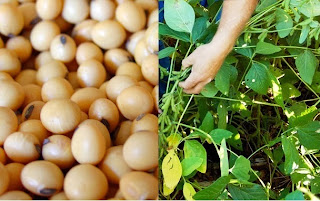 How to Starting a Soybean Farming Business