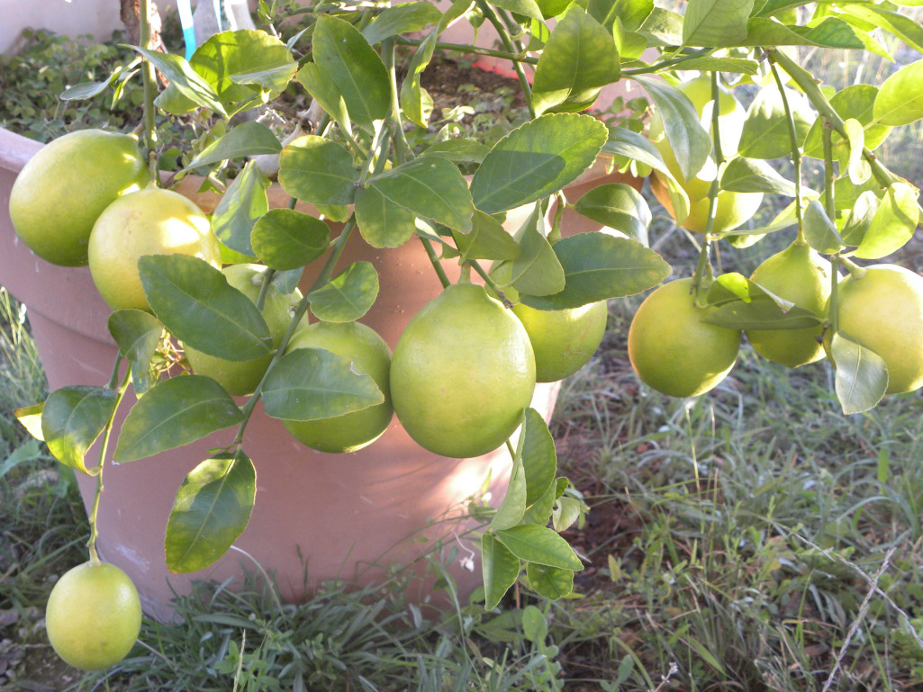 how to grow a lemon tree in texas