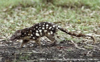 Spotted tailed Quoll
