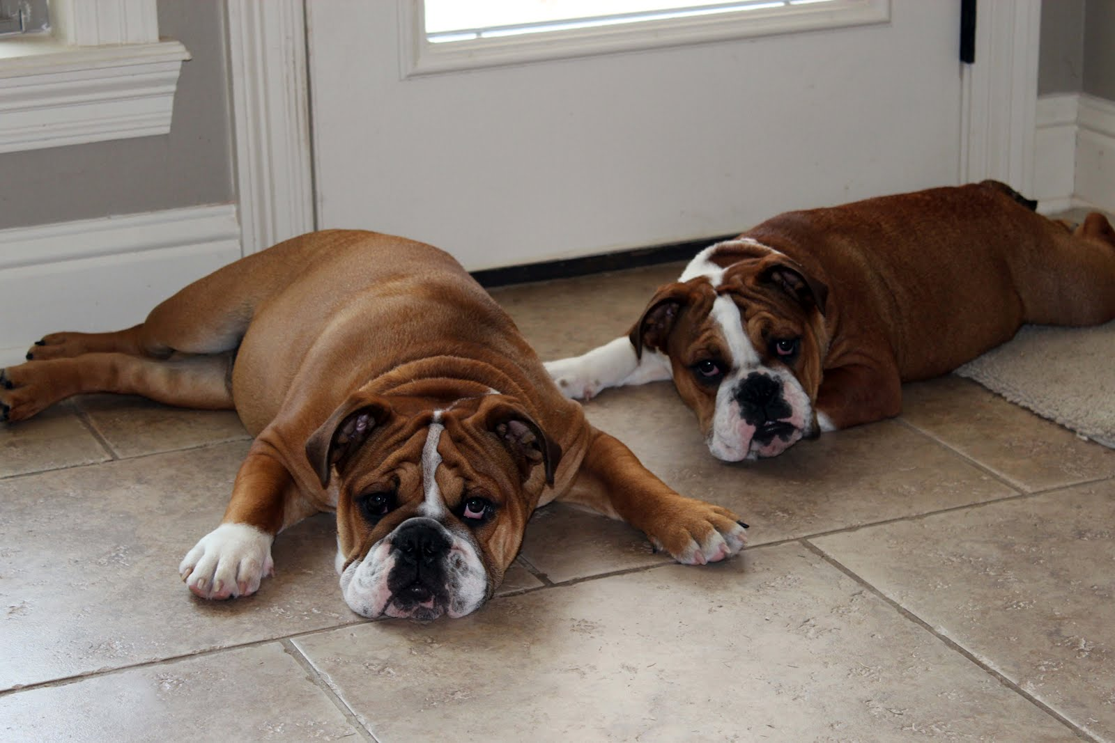 Brown olde english bulldogge puppies - photo#4