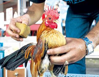Memandikan ayam serama dan menjemurnya di bawah sinar matahari
