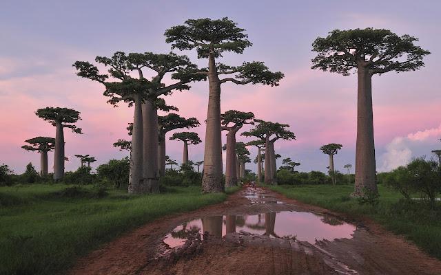 http://2.bp.blogspot.com/-beQ6iE5RWwI/UB0UesV6aBI/AAAAAAAAAQI/TsGwxUY-2UU/s1600/baobab.jpg