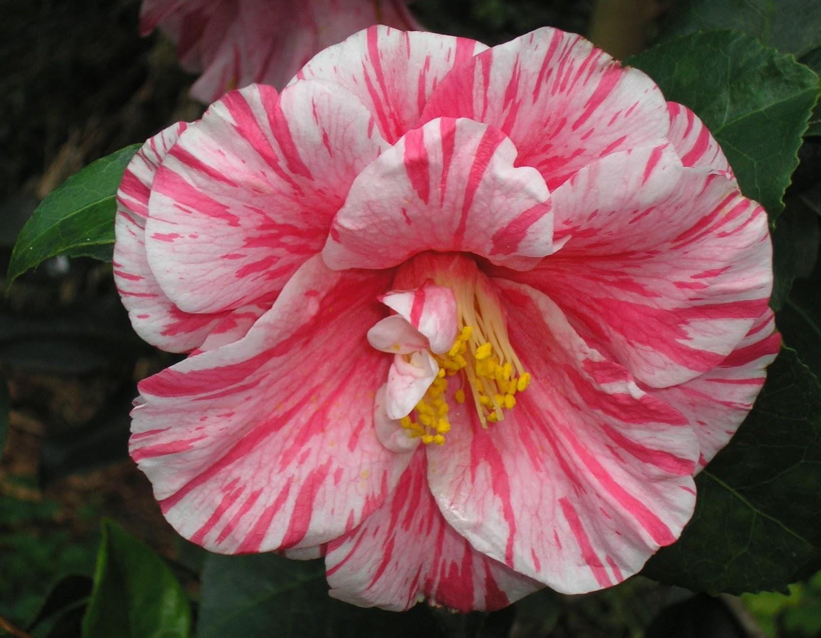 Camellia Wallpaper