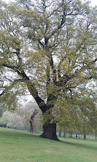 Quercus robur - Oak Tree Brockwell Park Different Side
