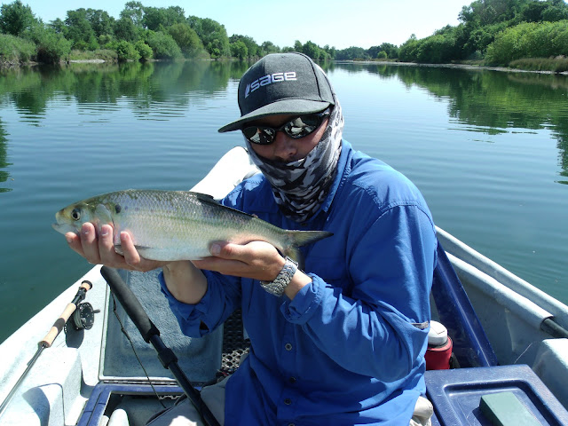 Fly fishing specialties it 39 s shad time on the american river for Fly fishing specialties
