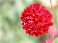 red beauty flower