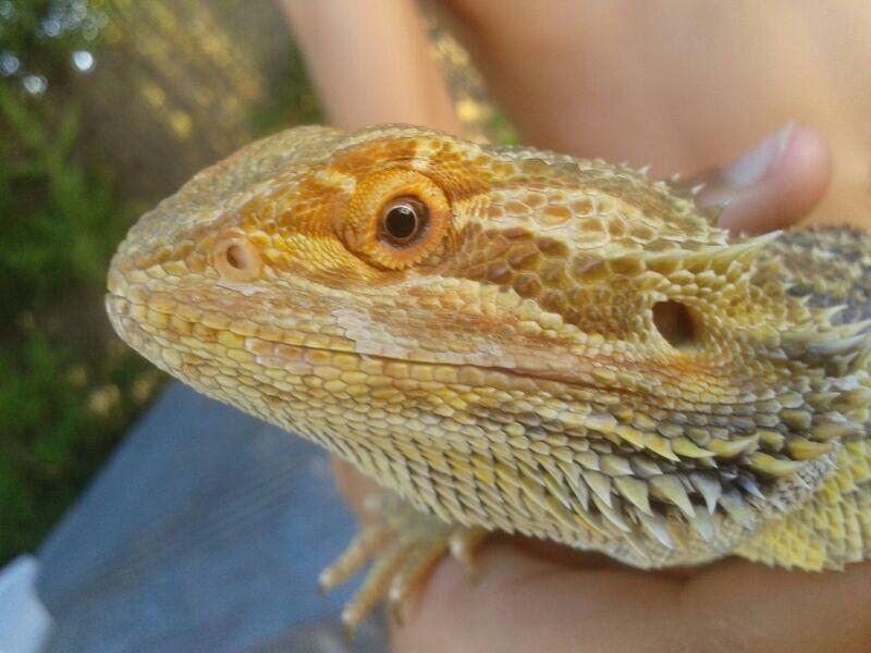 EN LAS NARICES DE DARWIN: Dragon barbudo: