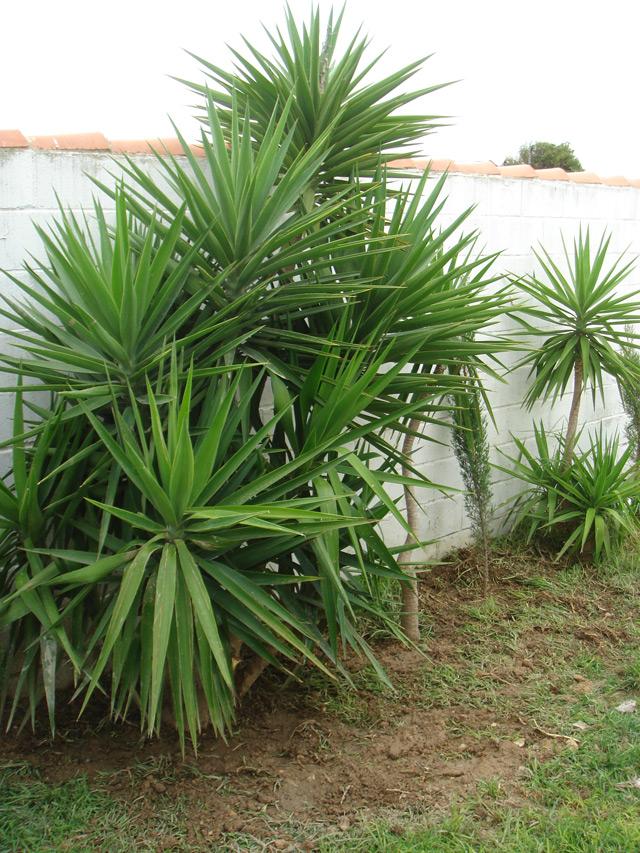 Manoloasecas cuerda hecha con fibra de yuca - Yucca elephantipes cuidados ...
