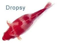 http://2.bp.blogspot.com/-bg54XAP0BfA/Tm6KjBU7HfI/AAAAAAAAAQA/cUGKimYMJpQ/s200/dropsy.jpg